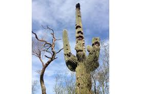 Saguaro Cactus with bullet holes
